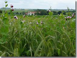 Ökologischer Landbau, Erbsen-Getreide-Gemenge