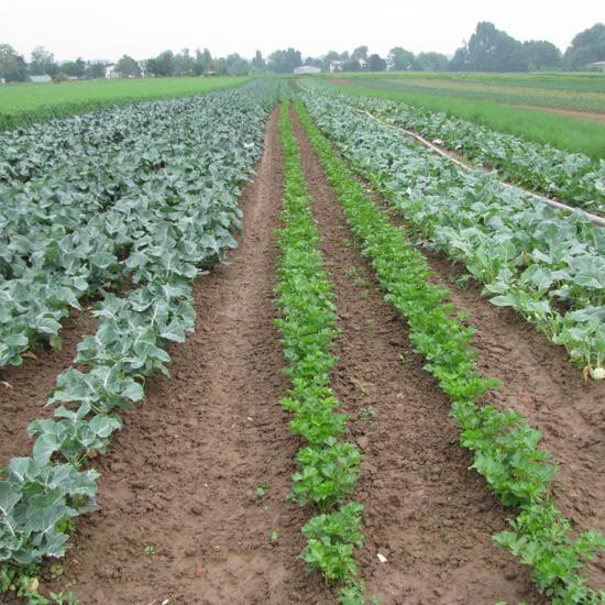 Bio-Gemüseanbau, Foto: Ute Schepl, LWK NRW