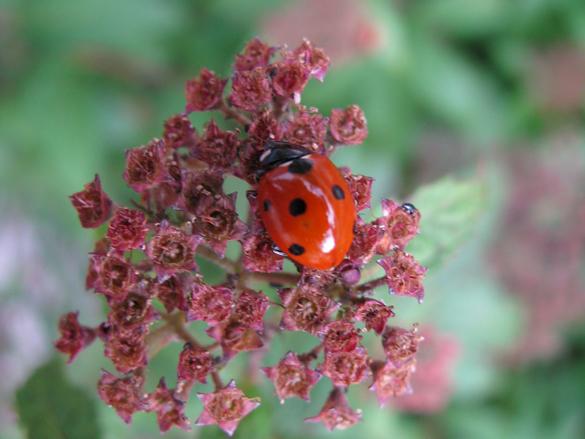 Marienkäfer auf Gemüsepflanze