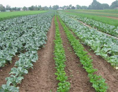 Bio-Gemüseanbau, Blick auf verschiedene Gemüsekulturen in Reihen angebaut.
