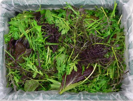 Verschiedene Sorten von Winterschnittsalaten in Kiste verpackt