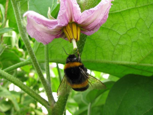 Unter-Glasanbau von Auberginen, Hummel bestäubt Blüte