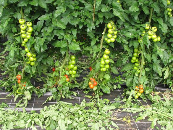 Unter-Glasanbau von Tomaten, Rispentomaten noch grün