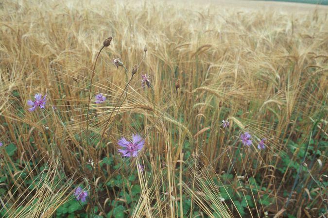 Gertsenfeld kurz vor der Ernte