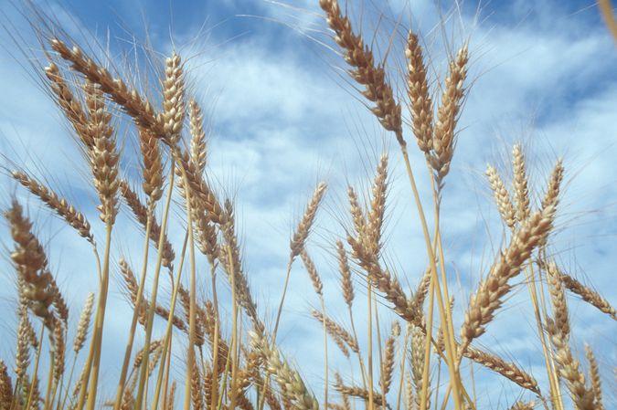 Einzelne Weizenähren vor Wolkenhimmel