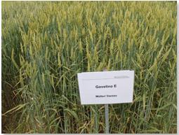 Govelino eine neue Sorte aus der biologisch-dynamischen Forschung vereint Ertrag und herausragende Qualität