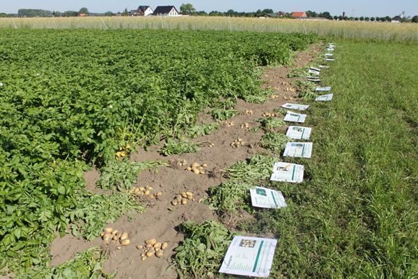 Kartoffelfeldtag 25.06.2020 in Rheda-Wiedenbrück - Sortenversuche, Schrifttafeln mit Sorteninfos liegend