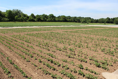 Sojabohnen sollten von Anfang an möglichst unkrautfrei auf steinarmen Böden etabliert werden.