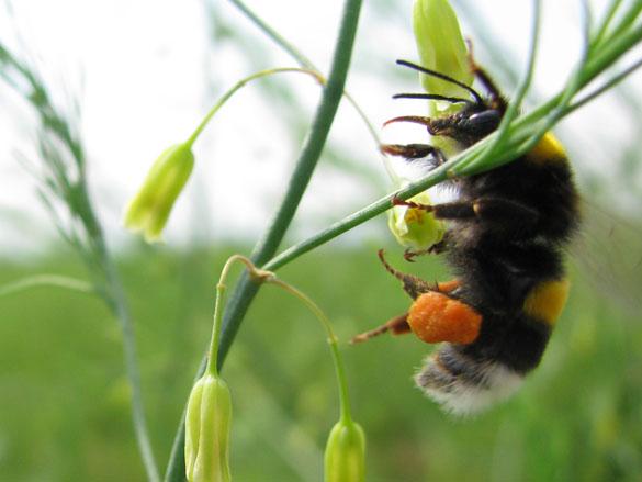 Hummel mit Pollenhöschen an Spargelblüte