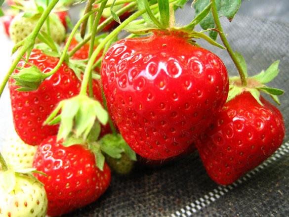 Frühe Erdbeersorte Daroyal erntereif