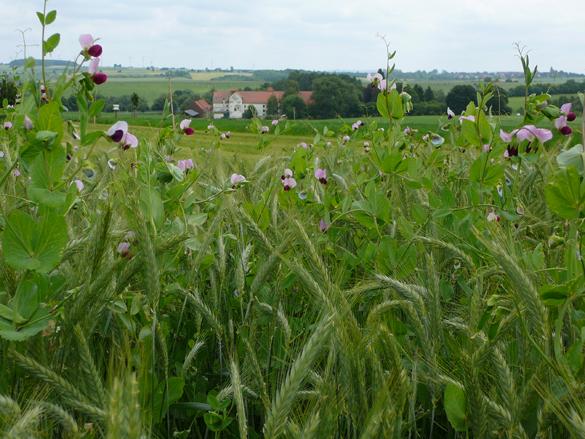 Getreide-Erbsen im Gemengeanbau