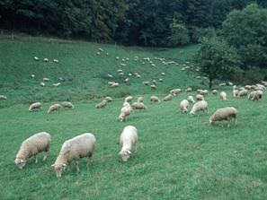 Weidende Schafe, Foto: © BLE/ Bonn, Thomas Stephan