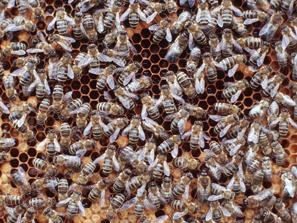 Honigbienen auf Wabe, Foto: © BLE/ Bonn, Thomas Stephan