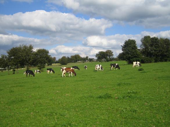 Milchviehherde auf der Weide