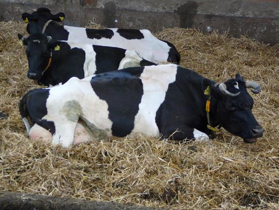 Behornte schwarzbunte Milchkühe auf Stroh liegend