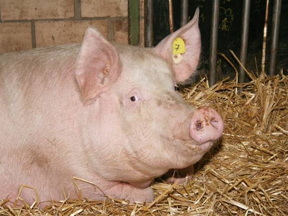 Bioschwein im Stroh liegend
