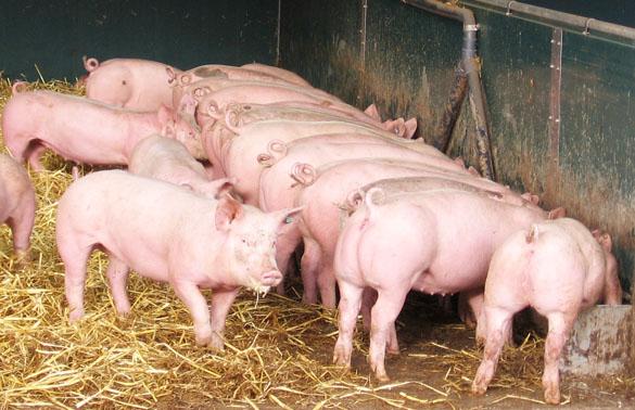 Mastschweine fressend am Längstrog, Foto: Christian Wucherpfennig, LWK NRW