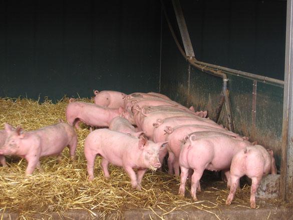 Bio-Mastschweine am Langtrog fressend, Foto: Christian Wucherpfennig, LWK NRW