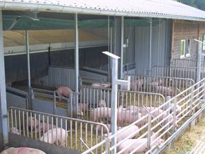 Mastschweine im Auslauf, Foto: Dr. Karl Kempkens, LWK NRW