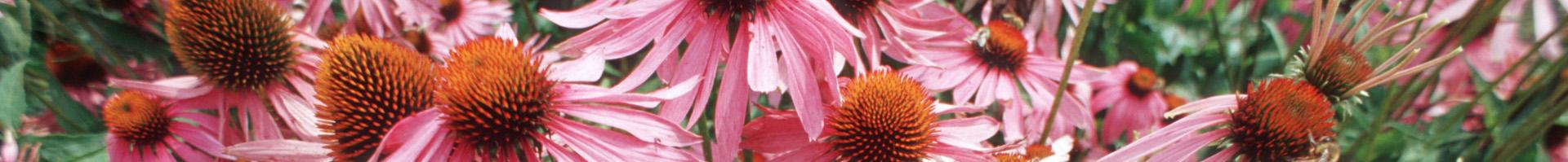 Heilpflanze, Purpursonnenhutkraut