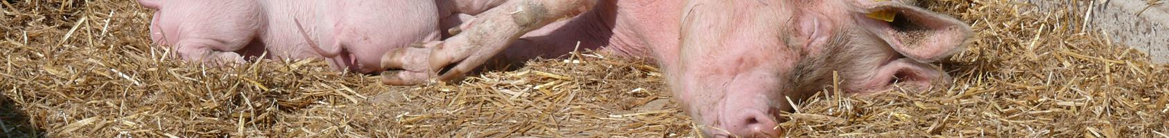 Säugende Sau mit Ferkeln im Stroh liegend