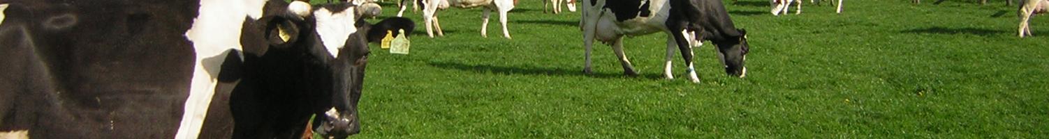Weidende Kühe, Öko-Stall Haus Riswick, Foto: LWK NRW