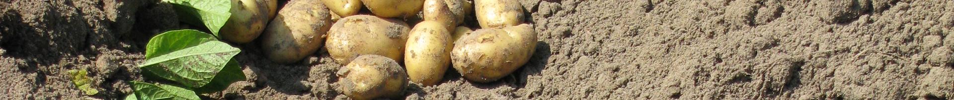 Kartoffeln im Sortenversuch gerade ausgemacht auf Feld liegend