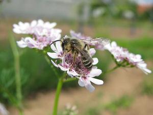Biene auf Blüte, Foto: Ute Schepl, LWK NRW