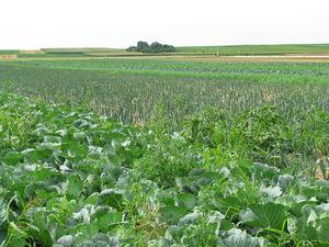 Agrarlandschaft, Gemüseanbau