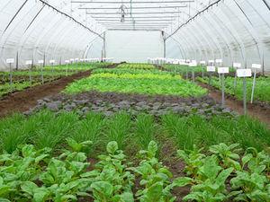Verschiedene Sorten Winterschnittsalate im Folientunnel angebaut