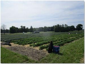 Das schwarze Netz schützt die Erdbeeren nicht nur vor Hagel, sondern auch vor Sonnenbrand bei starker Sonneneinstrahlung.