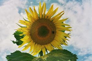 Blühende Sonnenblume