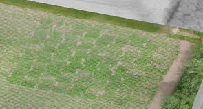 Öko-Kartoffeln, Versuchsfläche mit Agricopter überflogen, unterschiedliche Entwicklung ist zu erkennen.sind