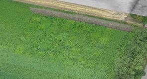 Öko-Kartoffeln, Versuchsfläche mit Agricopter überflogen, deutliche Unterschiede in der Entwicklung sind zu erkennen.