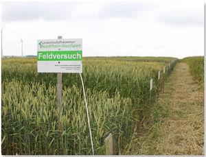 In Lichtenau standen die Öko-Winterweizen- und Dinkel- Landessortenversuchehervorragend.