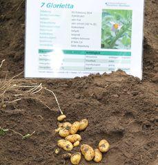Kartoffelfeldtag in Rheda-Wiedenbrück, Sorte Glorietta