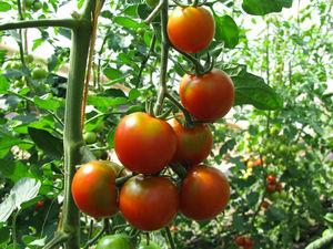 Tomatenrispe an Pflanze im Gewächshaus, Foto: Ute Schepl, LWK NRW