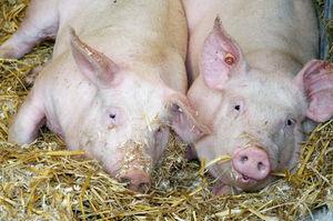 Zwei Bio-Schweine liegen auf Stroh, Foto: LWK NRW