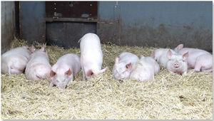 Bei dem milden Wetter fühlen sich die Schweine im Auslauf, auf Stroh liegend, sichtlich wohl.