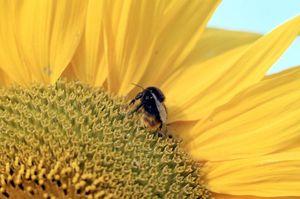 Ausschnitt von Sonnenblume mit Hummel