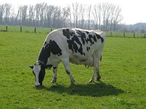 Einzelne grasende Milchkuh